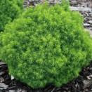 Molid Picea glauca Alberta Globe