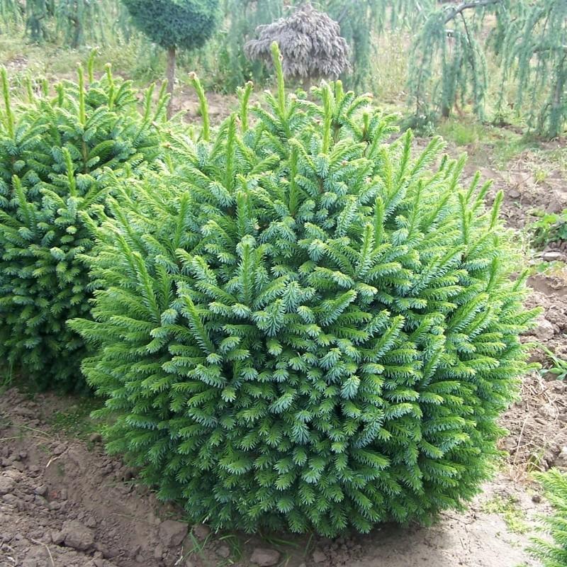 Molid Picea omorika Nana
