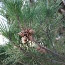Pin Pinus densiflora Umbraculifera