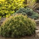 Jneapan Pinus mugo Pumilio