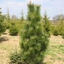 Pin Pinus nigra Fastigiata