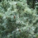 Pin alb Pinus parviflora Glauca