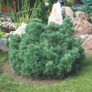 Pin Pinus sylvestris Watereri
