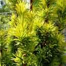 Tisa Taxus baccata Fastigiata Aurea