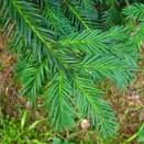 Tisa Taxus baccata Repandens