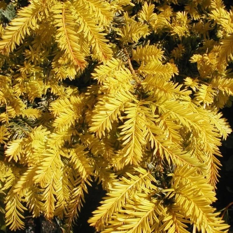 Tisa Taxus baccata Summergold