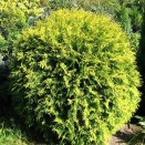 Tuia Thuja occidentalis Golden Globe