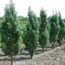 Pin de padure Pinus sylvestris Fastigiata