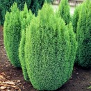 Chiparos Chamaecyparis lawsoniana Ellwoods Gold