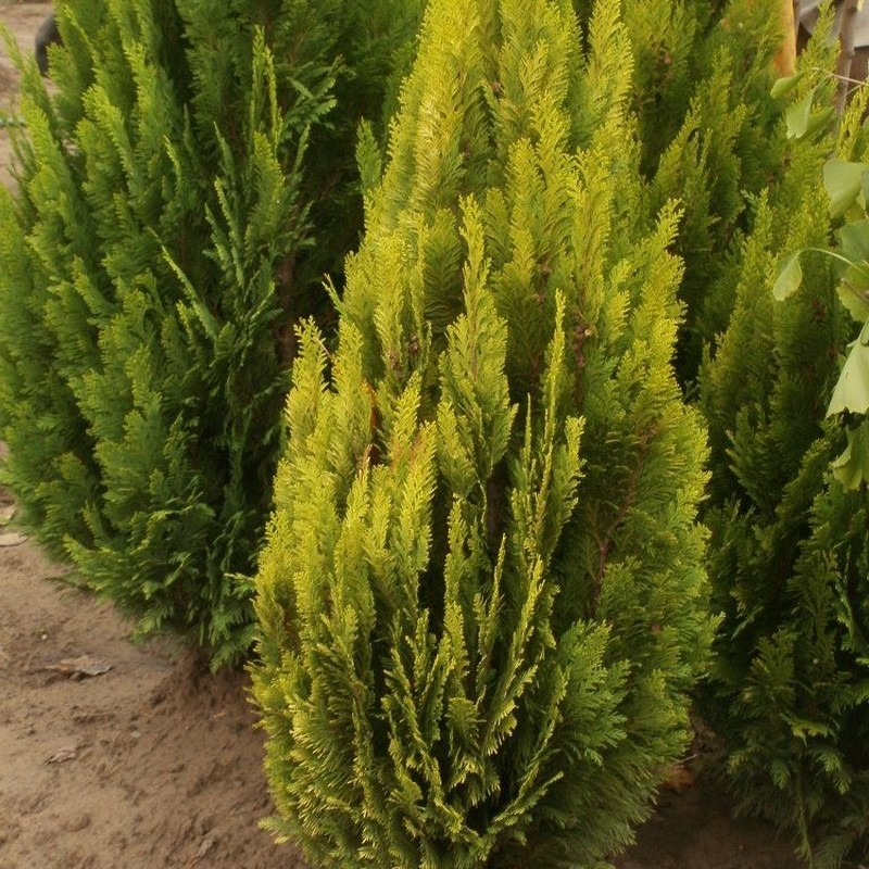 Chiparos Chamaecyparis lawsoniana Barabits Gold