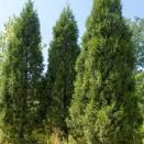 Ienupar Juniperus Ketelerii