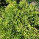 Ienupar Juniperus Kurivao Gold