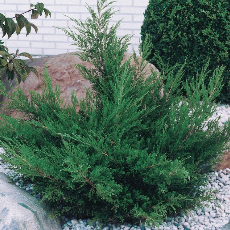 Ienupar Juniperus media Mint Julep