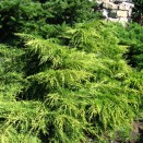 Ienupar Juniperus Old Gold