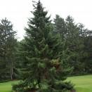 Molid Picea omorika