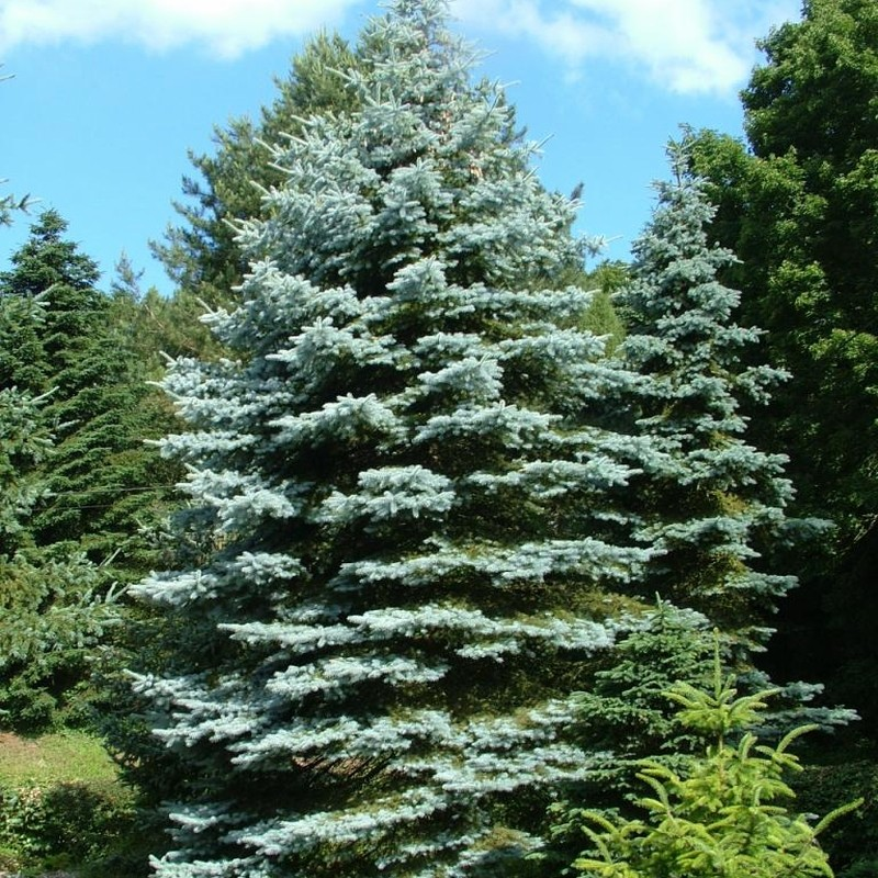 Molid Albastru Picea pungens Edit