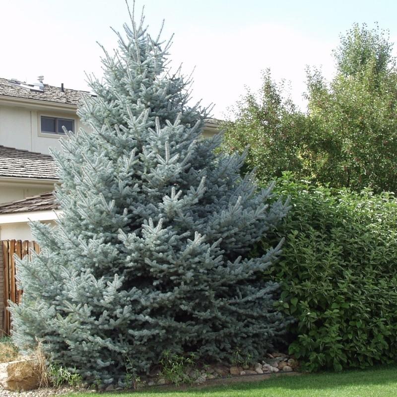 Molid Argintiu Picea pungens Fat Albert
