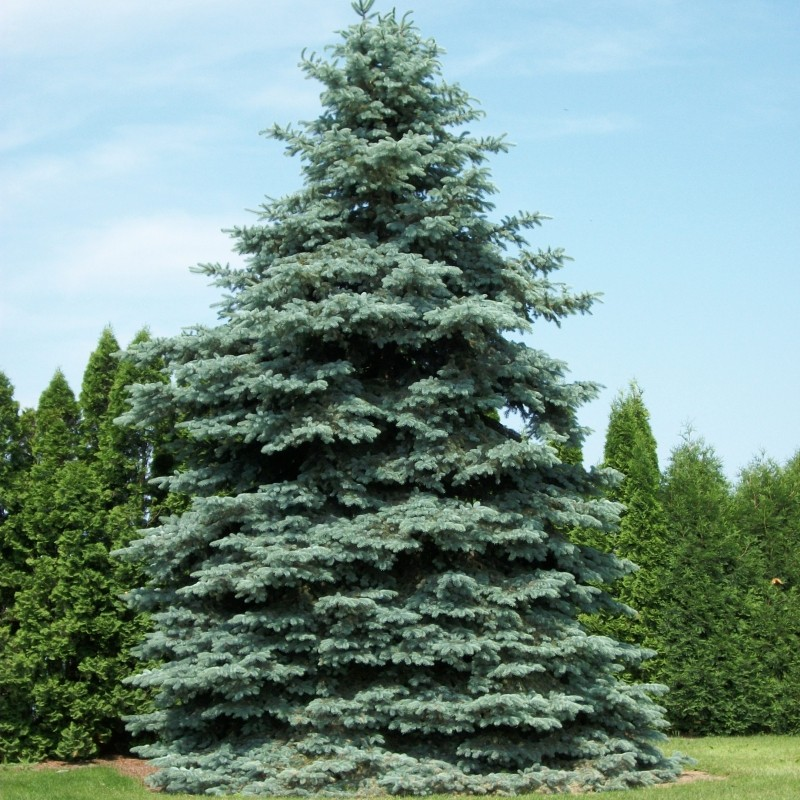 Molid Argintiu Picea pungens Glauca