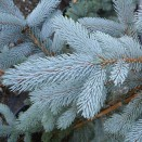 Molid Argintiu Picea pungens Hoopsii