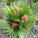 Pin Pinus leucodermis