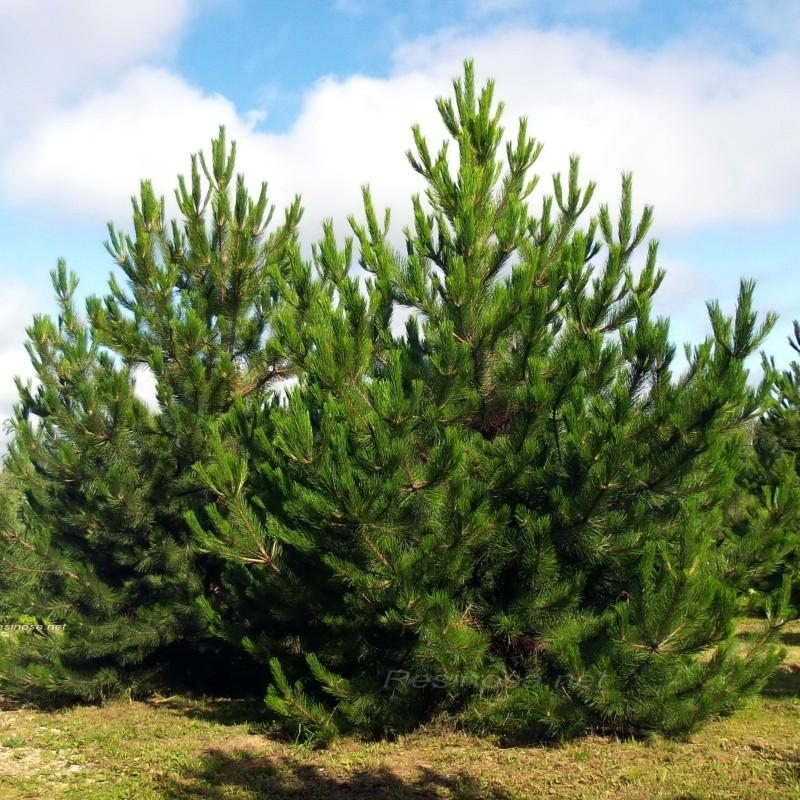 Pin Austriac Pinus nigra Austriaca