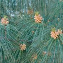 Pin Pinus wallichiana