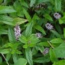 Menta - Mentha spicata