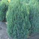 Ienupar juniperus chinensis Blauw