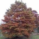 Conifer Foios Taxodium distichum
