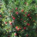 Tisa Taxus media Hicksii