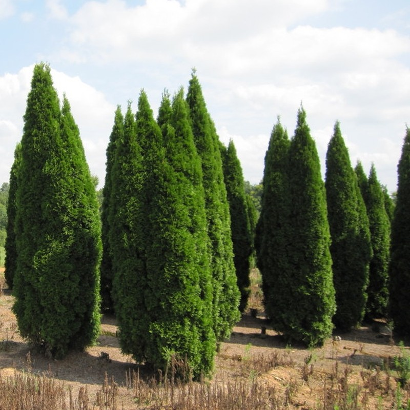 Tuia Thuja occidentalis Smaragd