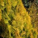 Tuia Thuja orientalis Pyramidalis Aurea