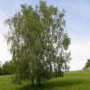 Mesteacan Betula pendula