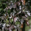 Mesteacan Betula pendula Purpurea