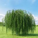 Mesteacan Betula pendula Youngii