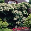 Hortensie urcatoare Hydrangea anomala ssp petiolaris