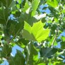 Platan Platanus acerifolia