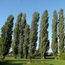 Plop Populus nigra Italica
