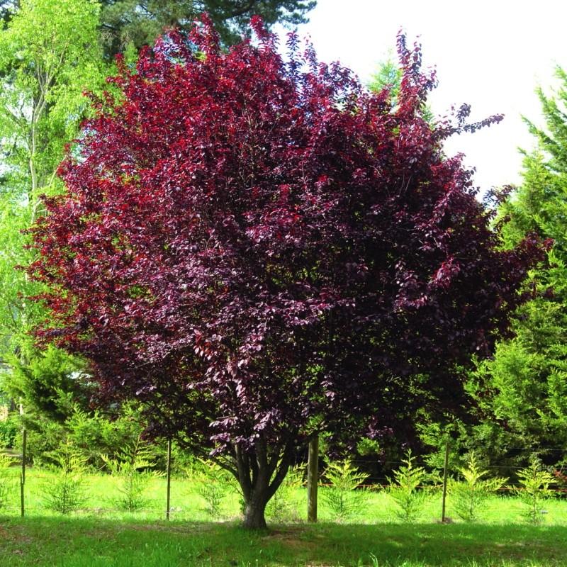 Corcodus Rosu Prunus cerasifera Nigra