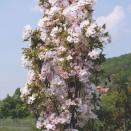 Cires Japonez Prunus serrulata Amanogawa