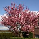 Cires Japonez Prunus serrulata Kanzan