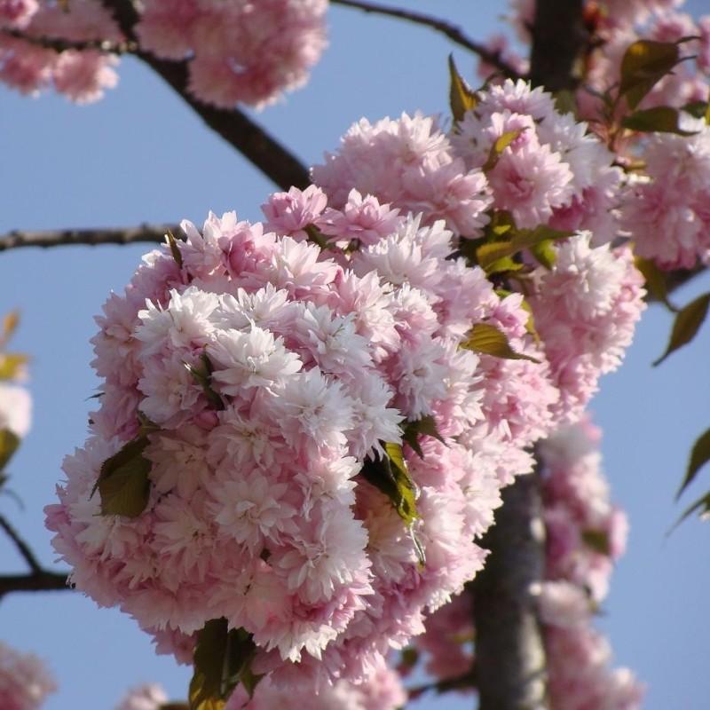 Cires Japonez Kiku shidare sakura