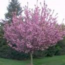 Cires Japonez Prunus serrulata Royal Burgundy