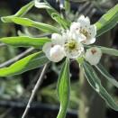 Par ornamental Pyrus salicifolia Pendula