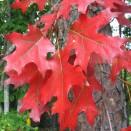 Stejar Rosu Quercus rubra