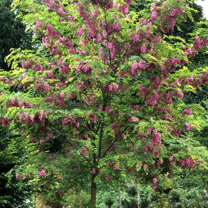 Salcam Robinia pseudoacacia Casque Rouge