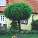 Salcam Robinia pseudoacacia Umbraculifera