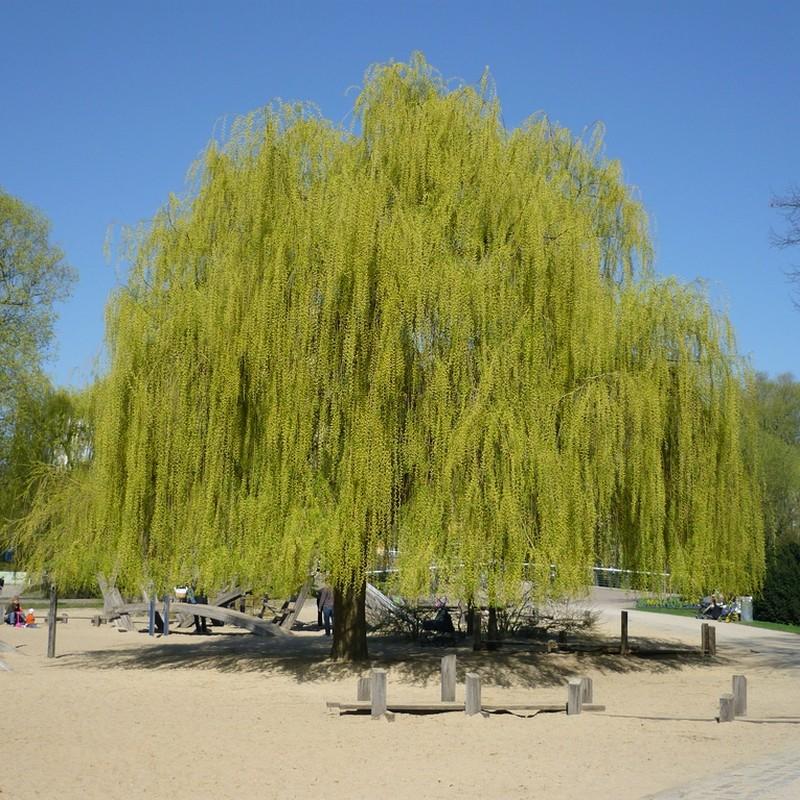 Salcie Salix alba Tristis