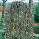 Salcie Salix caprea Kilmarnock
