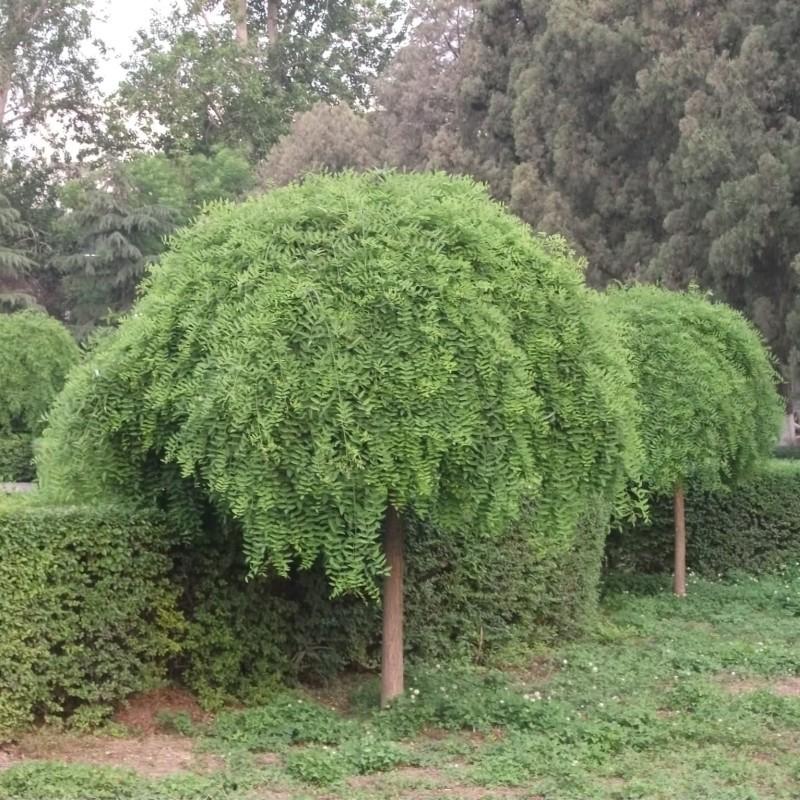 Sophora japonica Pendula